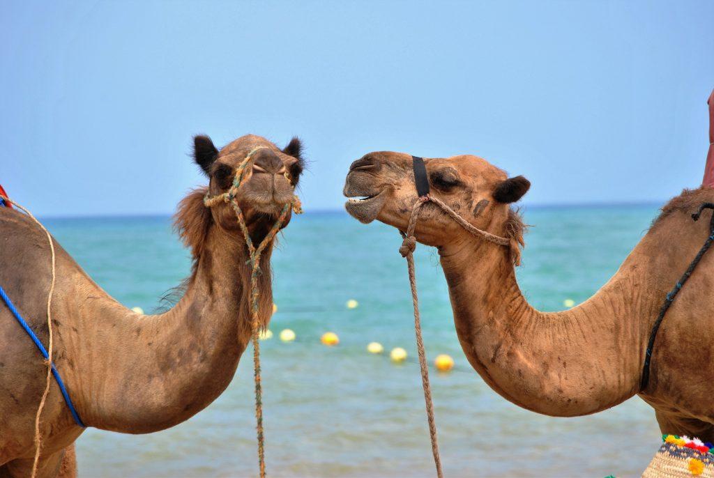 Morocco Mediterranean Beach camel ride on the beach